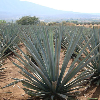 Agave Tequila Mexico