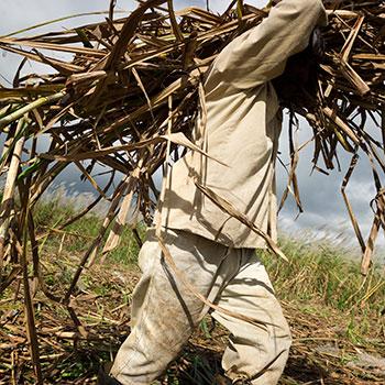 Rum-sugarcane