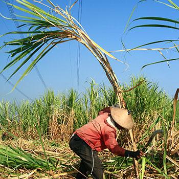 Sugarcane-worker
