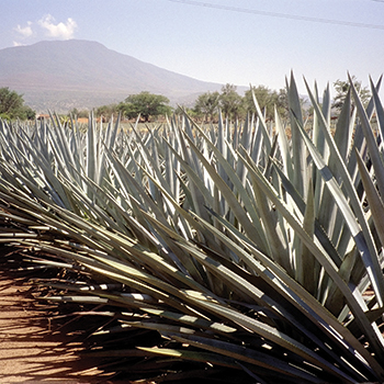 Tequila-agave
