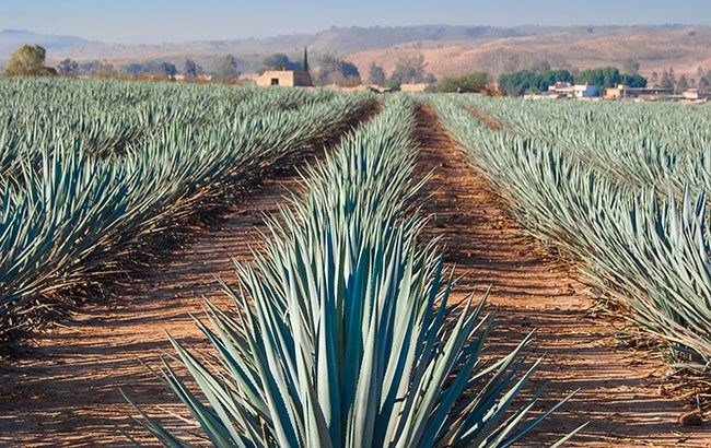 Agave education Sazerac