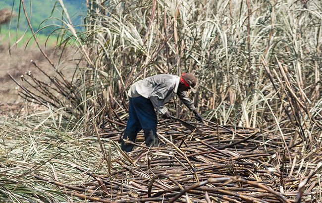 Appleton has 11,500 acres of sugar cane