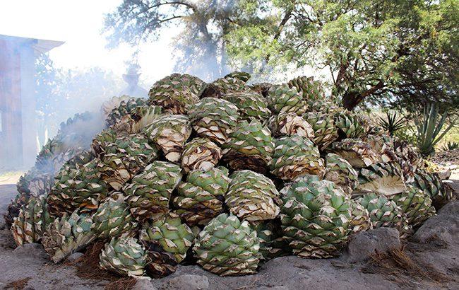Corte-Vetusto-Mezcal-agave