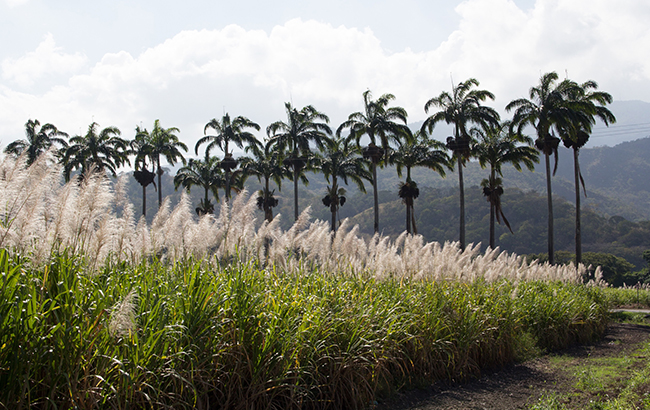 Santa Teresa's sugarcane fields