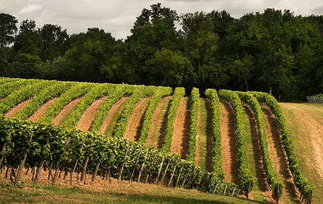 Vine time: grapes in the fields