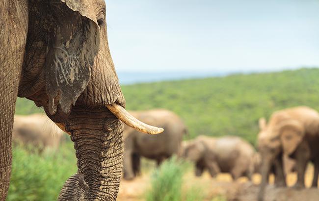 South Africa, elephants