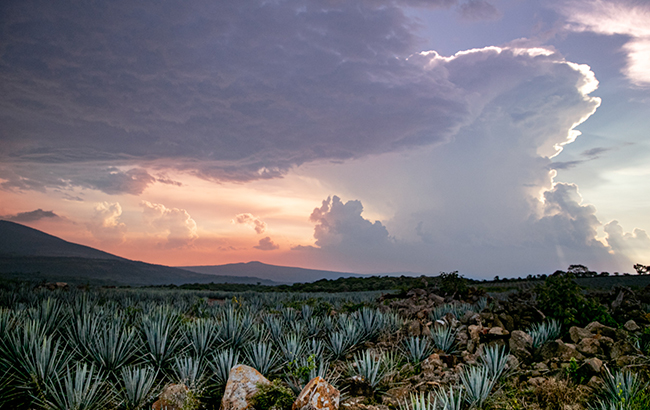 Amber Beverage Group's agave field